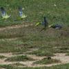 conures veuves (Aiguamolls de l'Empordà 27 avril 2015) © Joël Savry