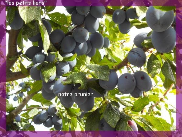 prunier-recolte-5.09-pf.jpg