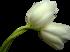 ♥ Les tulipes  ♥