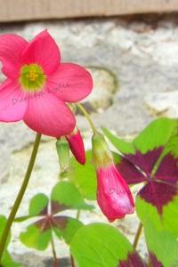 Oxalis Deppei ou Faux Trefle à 4 feuilles ou Oxalis Tetraphylla