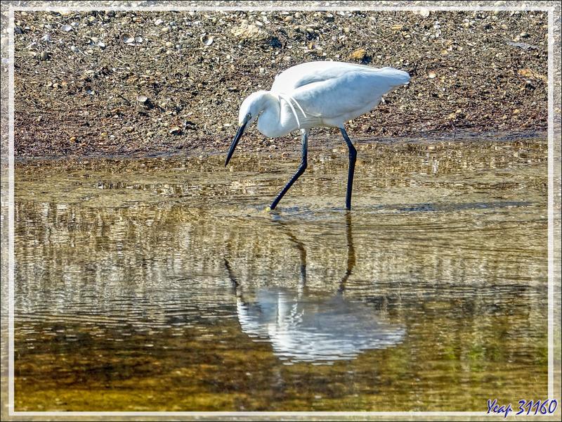 Aigrette garzette, Little Egret (Egretta garzetta) - Loix-en-Ré - Ile de Ré - 17