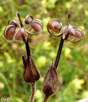 Geranium columbinum  -  géranium colombin