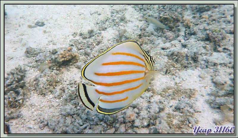 Plongée en apnée dans le lagon (2m50 d'eau maximum à marée haute) : Poissons-papillons ornés - Moorea - Polynésie française