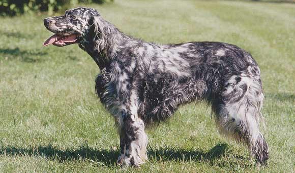 Races de chiens:  Setter anglais
