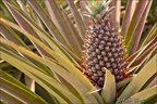 ananas - kampot