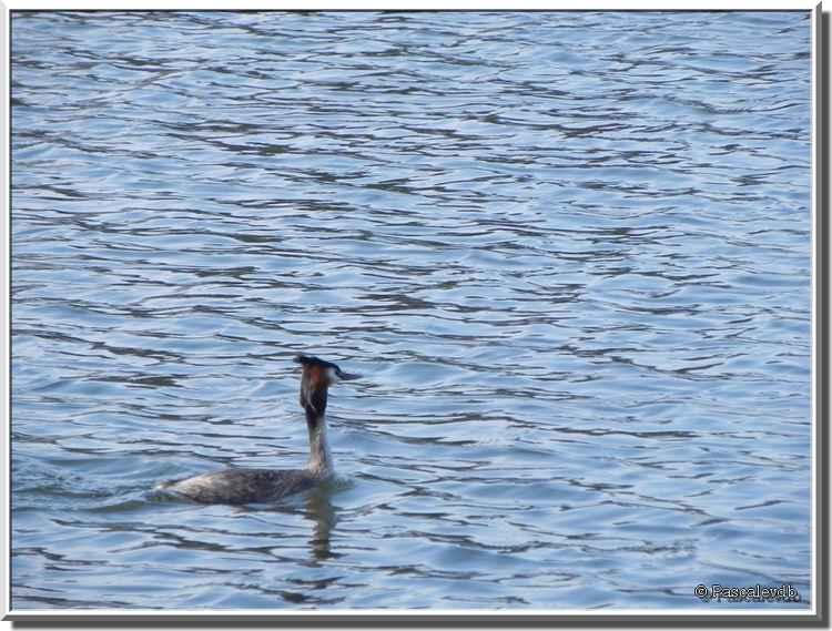 Parc ornithologique du Teich - grèbe huppé
