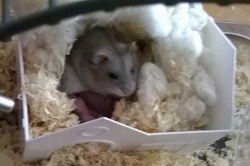 Mes hamsters russes