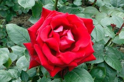 """R/8/2707 Rosa """" Abbe Lemire """""""