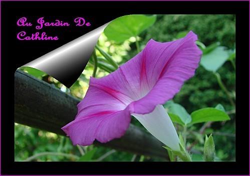 ipomee--mon-jardin-2012-2.jpg