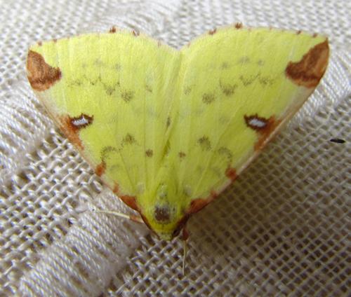 Petit papillon nocturne jaune