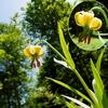 Lis des Pyrénées (Lilium pyrenaicum)