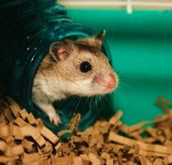 Comportement hamster