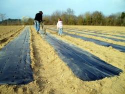 Plantation des échalotes