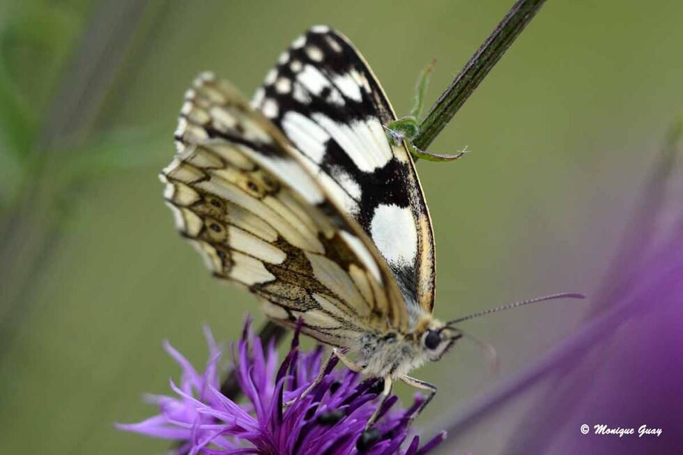 Ailes, yeux de papillons au plus près