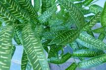 coniogramme emeiensis (fougère bambou)