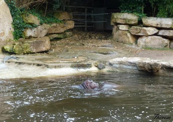 Hippopotames Amneville (18)