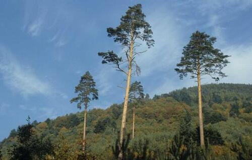 Vertus médicinales des arbres : Pin Sylvestre