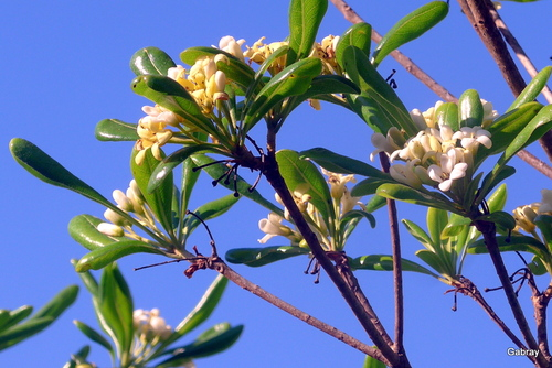 Mon pittosporum présente ses fleurs