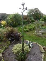 agave havardiana