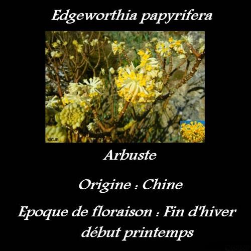 Edgeworthia papyrifera