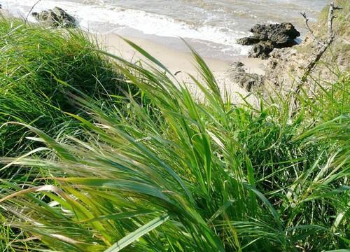 Graminées sur sentier côtier