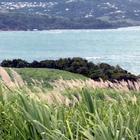 Canne en fleur - La Batterie (Presqu'Île de la Caravelle) - Photo : Yvon