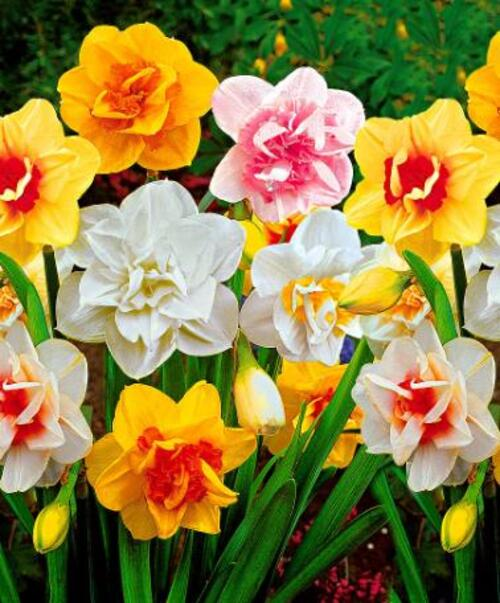 plantation des Narcisses
