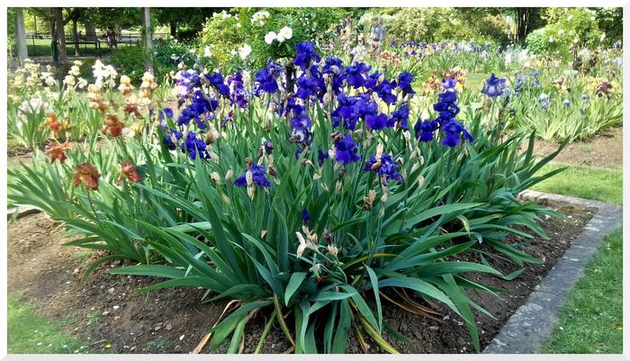 Iris au Jardin des Plantes Paris.