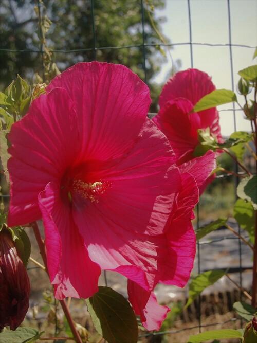 l'hibiscus des marais