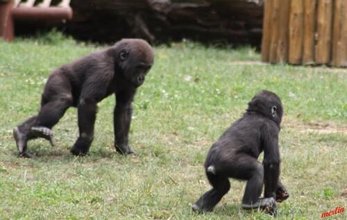 La famille gorille