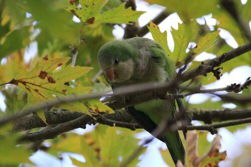 Conure Veuve (Monk Parakeet)