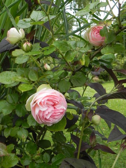 Mon amie, la Rose...