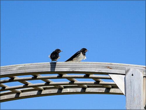 Photo d'hirondelles, au pied du phare de Chassiron