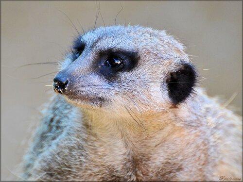 Photo de suricate du zoo de Pessac (Gironde)