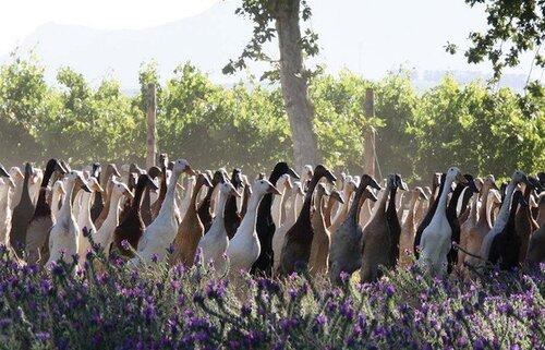 Des moutons pour nettoyer les vignes