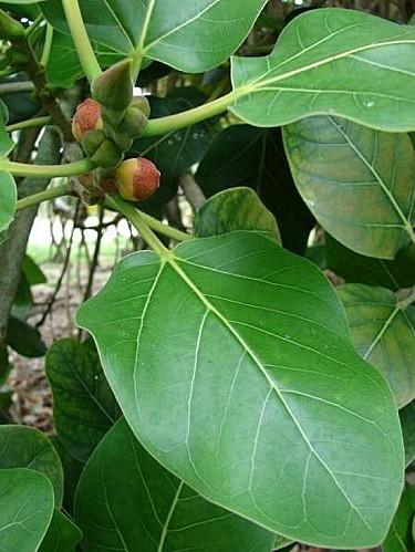06574-Ficus-benghalensis