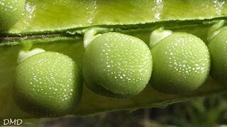 Lathyrus annuus - gesse annuelle