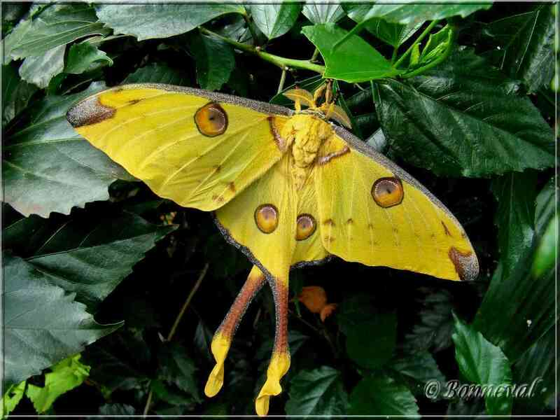 Papillons tropicaux Argema mittrei