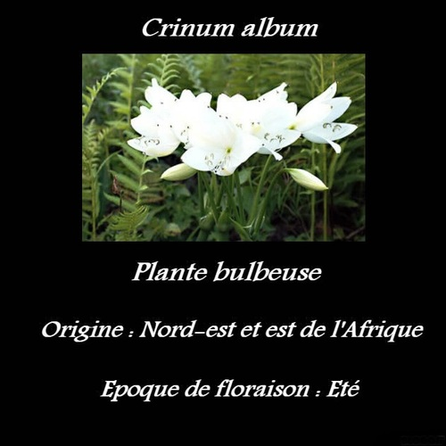 Crinum album