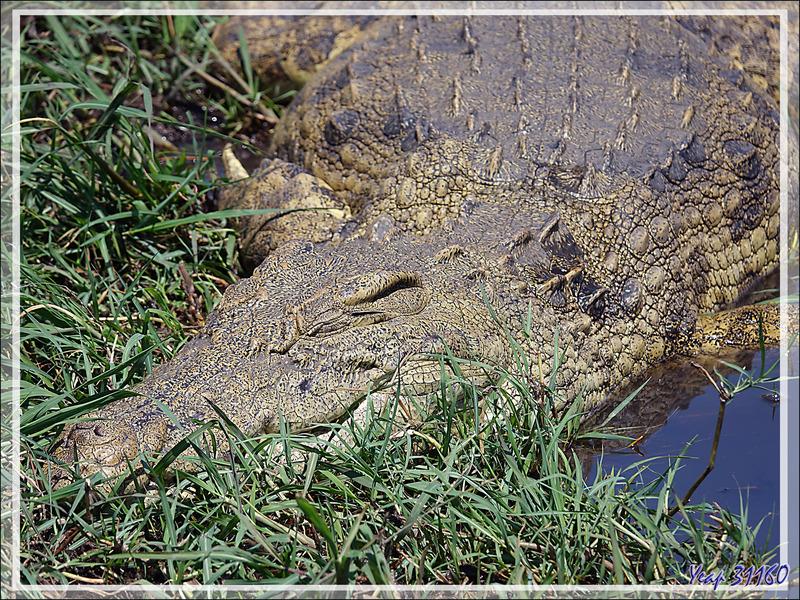Crocodile du Nil (Crocodylus niloticus) - Safari nautique - Parc National de Chobe - Botswana