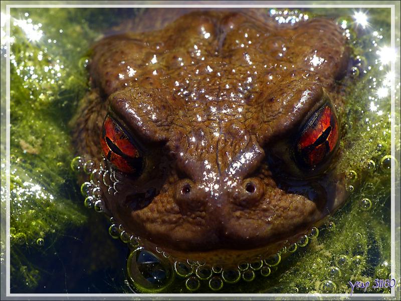 Les yeux de braise du crapaud commun - Lartigau - Milhas - 31
