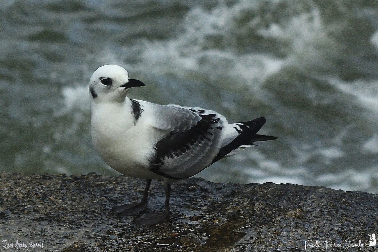 Mouette tridactyle juvénile