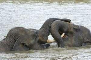 Éléphant de Sumatra Elephas maximus sumatranus