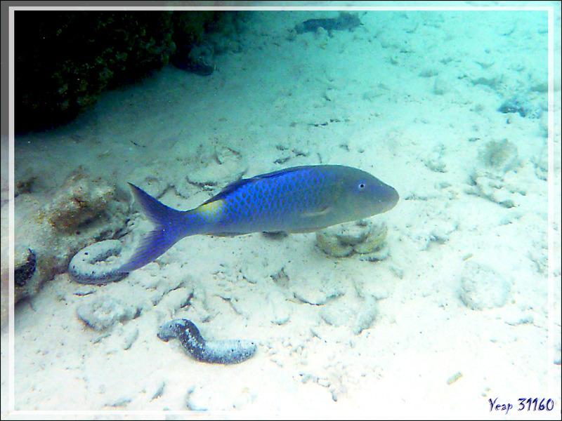 Rouget-barbet doré, Yellowsaddle goatfish or Goldspotted goatfish (Parupeneus cyclostomus) - Lagon bleu - Atoll de Fakarava - Tuamotu - Polynésie française