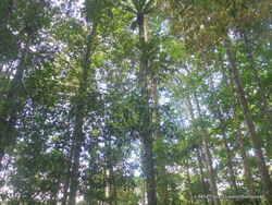 Guyane/ La forêt primaire