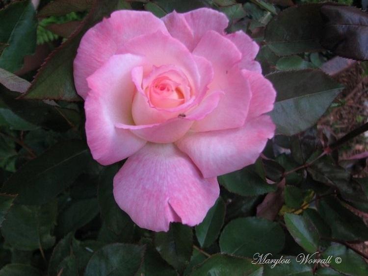 Nouvelles du Canada 147 : Une rose nommée Secret