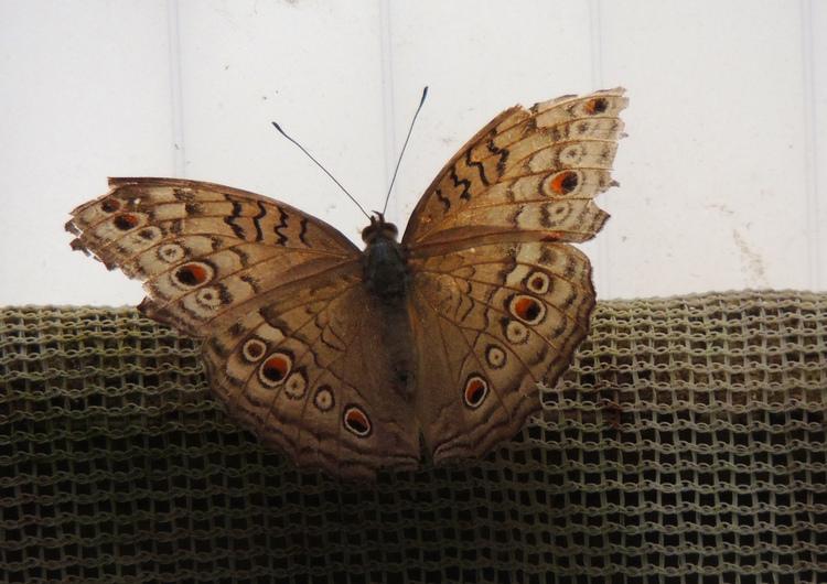 Papillons exotiques.Images gratuites.Par Jipé
