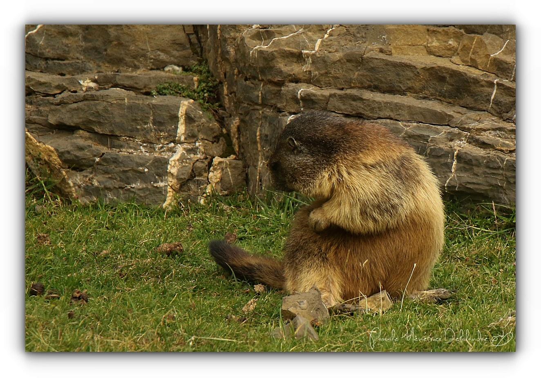 "Marmotte en ""grattouillage"""