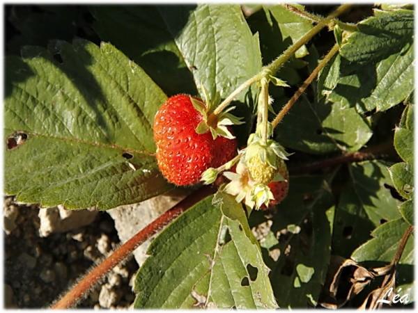 _MG_4618-fraises.jpg