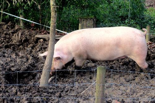Un gros cochon ...
